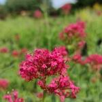 "Viduvis-raudonziedis-""Pretty-Bettsy-Centranthus-ruber-""Pretty-Bettsy-03"