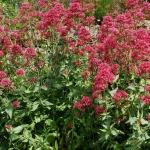 "Viduvis-raudonziedis-""Pretty-Bettsy-Centranthus-ruber-""Pretty-Bettsy"