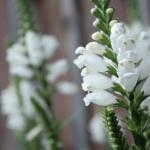 """Virgininis-pustatauris-""""Summer-Snow-Daugiametis-augalas.-03"""