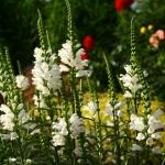 """Virgininis-pustatauris-""""Summer-Snow-Daugiametis-augalas.-05"""