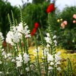 """Virgininis-pustatauris-""""Summer-Snow-Daugiametis-augalas.-06"""