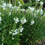 """Virgininis-pustatauris-""""Summer-Snow-Daugiametis-augalas.-12"""