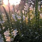 """Virgininis-pustatauris-""""Summer-Snow-Daugiametis-augalas.-17"""