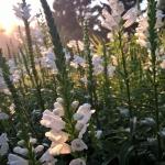 """Virgininis-pustatauris-""""Summer-Snow-Daugiametis-augalas.-18"""